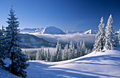 Deeply snow-covered scene with fir trees at Schildenstein with Rofan range in background, Bavarian alps, Tegernsee, Upper Bavaria, Bavaria, Germany