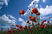Poppies against blue sky, Garching, Upper Bavaria, Bavaria, Germany