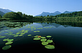 Lake Baernsee with lily pads, Zellerwand and Hochries in background, Chiemgau Alps, Bavaria, Germany