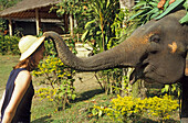 Tame elephant stealing a tourist's hat at an elephant's camp, Thailand, Asia