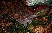 Asiatische Weichschildkroete, Dogania subplana, Borneo, Sarawak, Gunung Mulu NP, Malaysia
