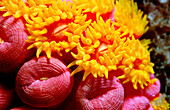 yellow cave coral, Dendrophillia (Tubastrea) sp., South Chinese Sea, Malaysia