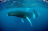 Humpback whale, mother and calf, Megaptera novaeangliae, Tahiti, French Polynesia , Rurutu, Pacific Ocean