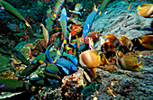 Twotone wrasses and Klein´s butterflyfishes eating eggs, Thalassoma lunare, Chaetodon kleinii, Komodo National Park, Indian Ocean, Indonesia