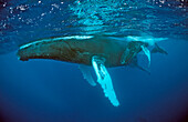 Humpback whale, mother and Calf, Megaptera novaeangliae, Silverbanks, Caribbean Sea, Dominican Republic