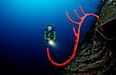 Roter karibischer Schwamm und Taucher, Catalina, Karibisches Meer, Dominikanische Republik
