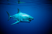 Great White Shark, Carcharodon carcharias, Australia, Dangerous Reef, Neptune Island