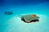 Bluespotted ribbontail ray, Taeniura lymma, Egypt, Africa, Marsa Alam, Red Sea