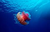 Crown jellyfish, Netrostoma setouchina, Egypt, Africa, Sinai, Ras Mohammed, Red Sea
