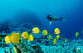 Scuba diver and Masked Butterflyfishes, Chaetodon semilarvatus, Egypt, Africa, Sinai, Nuweiba, Red Sea