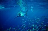 Great White Shark, Carcharodon carcharias, South Africa, Dyer Island, Gansbaai, Atlantic Ocean