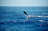 Jumping Common Dolphin, Delphinus delphis , Mexico, Sea of Cortez, Baja California, La Paz