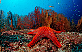 Red starfish and coral reef, Asteroidea, Mexico, Sea of Cortez, Baja California, La Paz