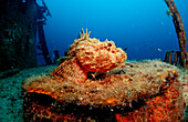 Stone scorpionfish on ship wreck, Scorpaena plumieri mystes, Mexico, Sea of Cortez, Baja California, La Paz
