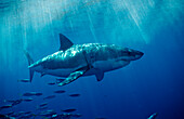 Great White Shark, Carcharodon carcharias, USA, California, Pacific Ocean, Farallon Island, San Francisco Bay