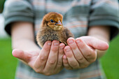 Boy holding chick in Hands, Haunetal, Rhoen, Hesse, Germany