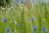 People hiking with Llamas, viewed through a wildflower meadow, Nuedlings RhoenLama Trekking, Poppenhausen, Rhoen, Hesse, Germany