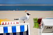 Black-headed gull on a beach chair, Langeoog Island, East Frisian Islands, Lower Saxony, Germany