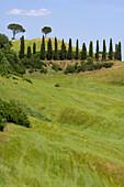 Row of cypress trees, near Buonconvento, Tuscany, Italy