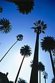 Palm trees, Hollywood, L.A., Los Angeles, California, USA