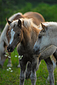 Haflinger foals on green pasture, Meura, Thuringia, Germany