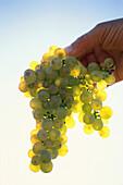 Hand holding Riesling grapes, vintage near Geisenheim, Rheingau, Hesse, Germany