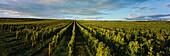 View over vineyard Morstein, Westhofen, Rhenish Hesse, Rhineland-Palatinate, Germany