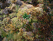 Close up of moss with frost, Paramo vegetation, ca 4200m above sea level, Sierra Nevada, Venezuela, America