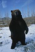 Brown bear, Alaska, USA, America