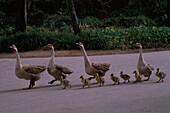 Swan Goose, domestic Geese