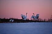 Japanese Cranes, Grus japonensis, Hokkaido, Japan, Asia