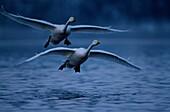 Two whooper Swans flying over a lake, Cygnus cygnus, Europe