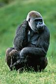 Western lowland gorilla with baby, Gorilla, Africa