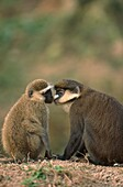 Black-faced Vervet Monkey, Cercopithecus aethiops, and Greater White-nosed Guenon, Cercopithecus nictitans, sniffing, Africa