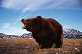Kodiak bear, Kodiak Island, Alaska, USA