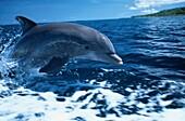 Bottlenosed dolphin porpoising, Tursiops Truncatus, Islas de la Bahia, Hunduras, Caribbean