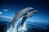 Bottlenosed Dolphins, Tursiops Truncatus, Islas de la Bahia, Hunduras, Caribbean