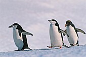 Chinstrap Penguins and Macaroni Penguin, Pygoscelis Antarctica, Eudyptes Chrysolophus, Antarctica