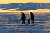 Emperor Penguins, Aptenodytes Forsteri, ice shelf, Iseberg, Antarctic