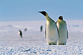 Emperor Penguins, Aptenodytes Forsteri, ice shelf, Antarctic