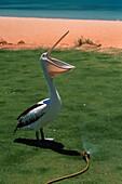 Pelican drinking water from hosepipe, Beach pf Monky Mia, Western Australia