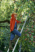 Young woman picking apples, Brannenburg, Upper Bavaria, Bavaria, Germany