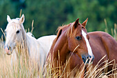 horses in wildwest Oregon, USA