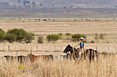 cowboy with cattle in prairie, Oregon, USA