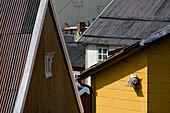 A bird, seagull, the black-legged Kittiwake, Rissa tridactyla, sitting in its nest on the facade of a house, Nusfjord, Flakstad Island, Lofoten, Norway