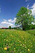 View over wildflower meadow to church, Ruhpolding, Chiemgau, Bavaria, Bavaria, Germany
