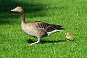 gray goose with chick, lake Chiemsee, Chiemgau, Upper Bavaria, Bavaria, Germany
