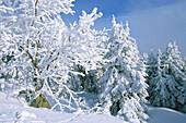 Verschneiter Wald auf dem Brockengipfel, Brocken, Brockengipfel, Schnee, verschneit, Wintersport, Ski, Langlauf, Harz, Schierke, Sachsen-Anhalt