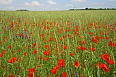 red poppies amongst grain field, wind turbines on horizon, northern Germany, Europe
