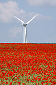 Red poppies in cornfield, wind turbine in background, Hanover, Lower Saxony, Germany